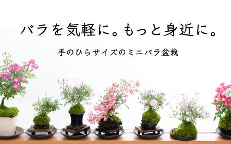 <em>楽しいおうち時間</em>室内の窓辺で育てるバラ盆栽。バラの新たな楽しみをご提案いたします。<b>ミニバラ盆栽</b>