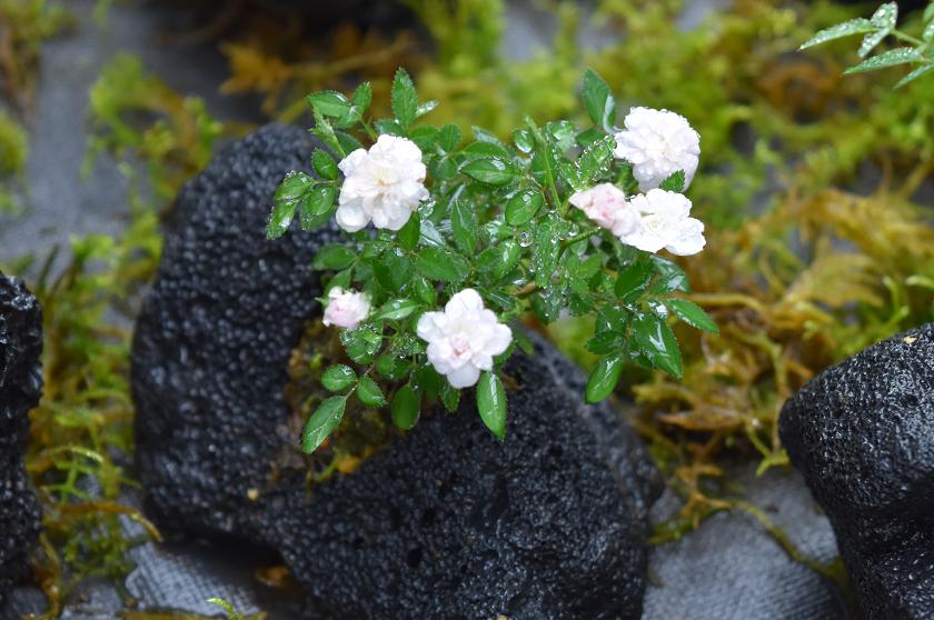 <em>篠宮バラ園のミニバラ盆栽</em>バラの新たな楽しみをご提案いたします。<b>ミニバラ盆栽</b>