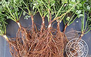 <em>根っこが自慢!自家製の台木</em>春に播種してから丹精込めて育てました。<b>お買いもの</b>