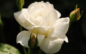 <em>アイスバーグの育て方</em>20世紀を代表する名花で純白の花が数輪から大房に咲き、春から秋まで良く咲きます。 白の中輪の花が株一杯に咲かせる様は見事です。<b>初心者におすすめ!</b>