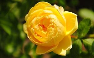 <em>素晴らしきオールドローズの世界</em>世界中で、数百年来愛されているバラたち。時代を越え、人々を魅了し続けている素晴らしいバラたちです。(写真はロサフォエティダペルシアーナ)<b>お買いもの</b>
