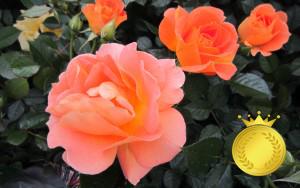 <em>コンクール受賞品種</em>各国のコンクールで受賞されたバラは、香りや美しさが秀でているものばかりです。<b>お買いもの</b>