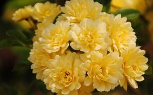 <em>素晴らしきオールドローズの世界</em>世界中で、数百年来愛されているバラたち。時代を越え、人々を魅了し続けている素晴らしいバラたちです。(写真はモッコウバラ)<b>お買いもの</b>