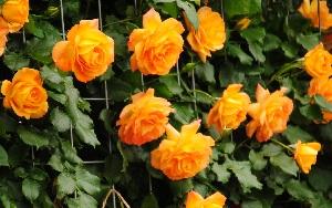 <em>「病気に強い」バラとは?</em>よくお客様から尋ねられるのですが、病気に強いバラというのは、どのような品種を指すのでしょう。<b>お買いもの</b>
