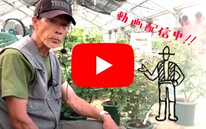 <em>篠宮バラ園Youtubeチャンネル</em>おかげさまでチャンネル登録者数5,000名!いいね!&チャンネル登録お願いします!<b>バラの育て方</b>